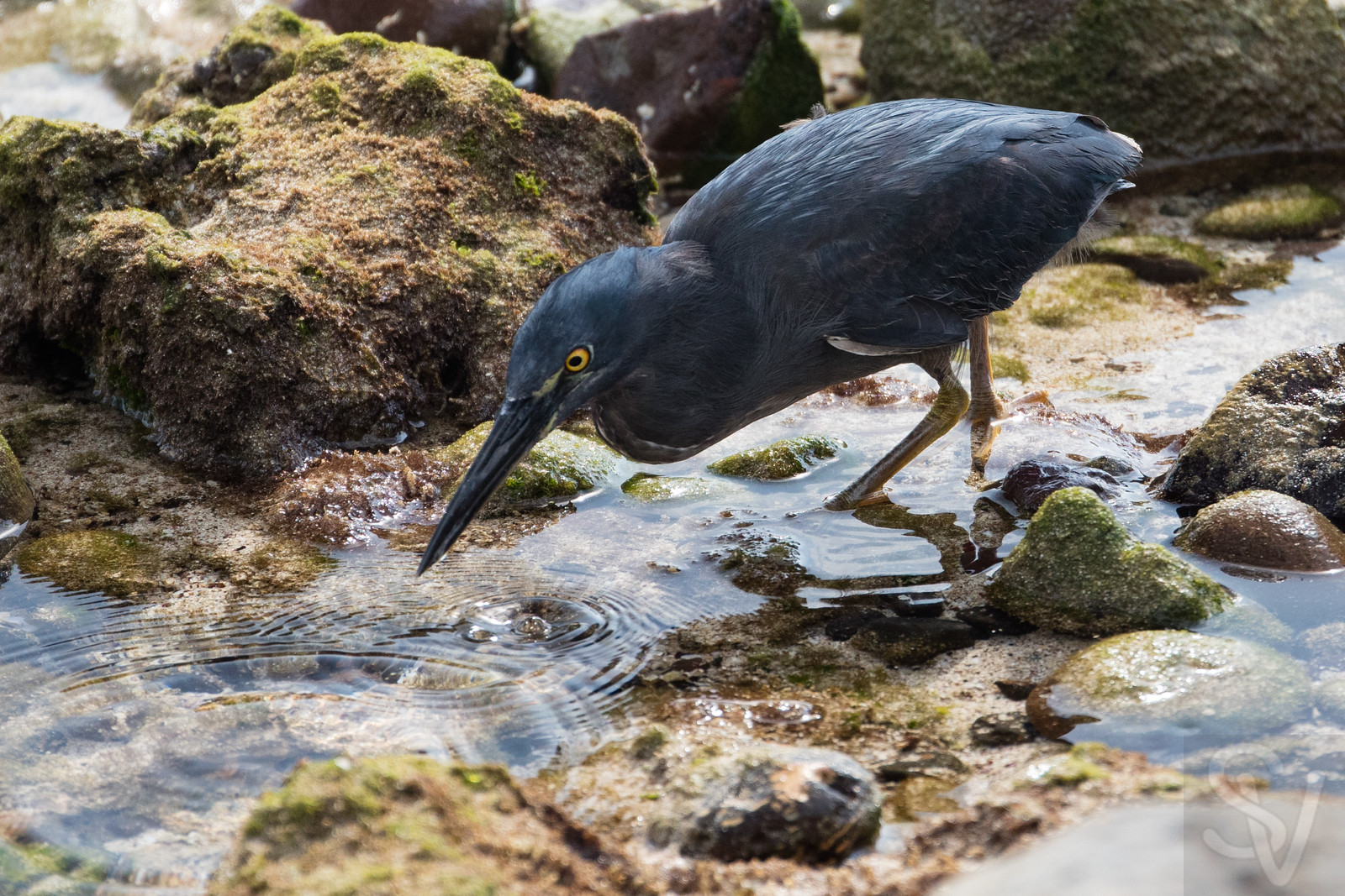 sand heron